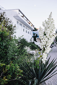 Bushes of the blossoming yucca