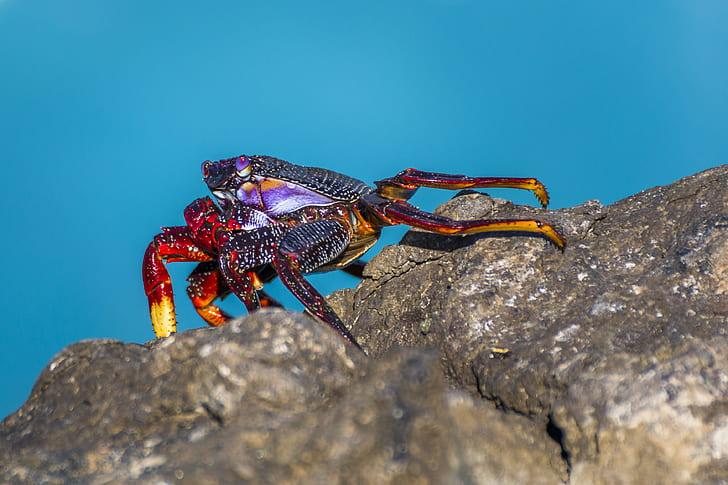 black and red crab on brown rock formation