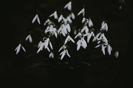 white snowdrop flowers