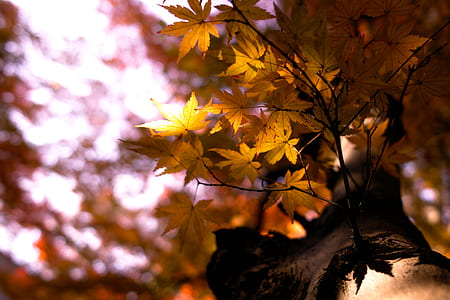 macro photography of maple leaves