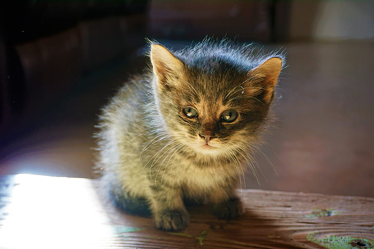 Black and Grey Kitten