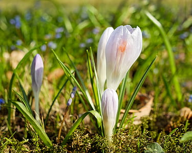 closeup photography of white and purple Saffron crocus flowers