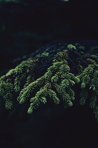 green cypress leaves with black background