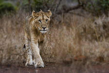 Photography of Young Lion