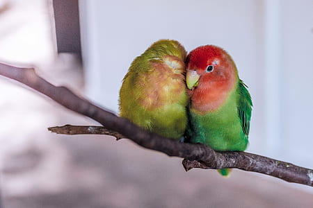 rose-faced lovebird on branch