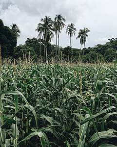 green corn field near coconut trees under white clouds
