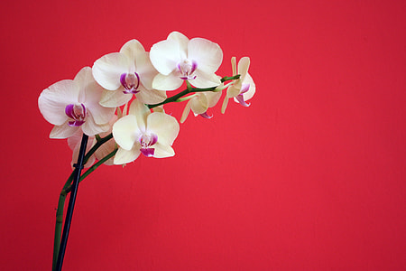 white orchid with red background
