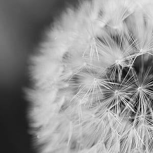 Close Up Photo of Dandelion