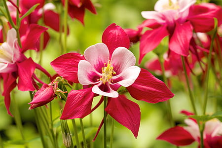 pink-and-red flowers