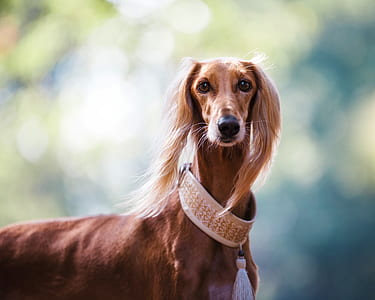 short-coated brown dog with collar