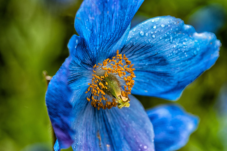 selective focus photography of blue anemone flower