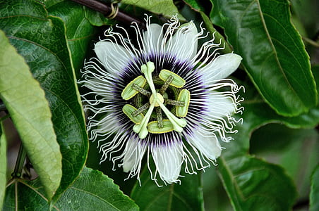 close-up photography of white and purple passion flower