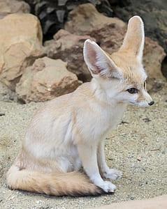 white and beige fennec fox