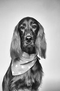Cocker Spaniel Greyscale Photography