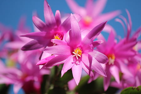 closeup photography of pink orchids