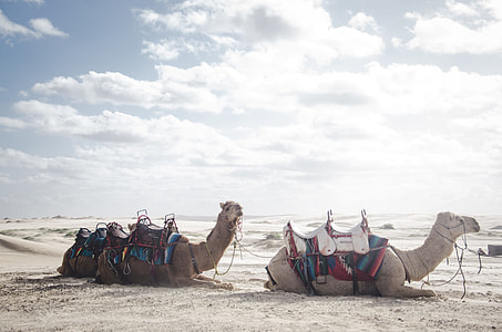 two camels on sands