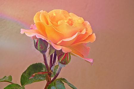 photo of yellow petaled rose