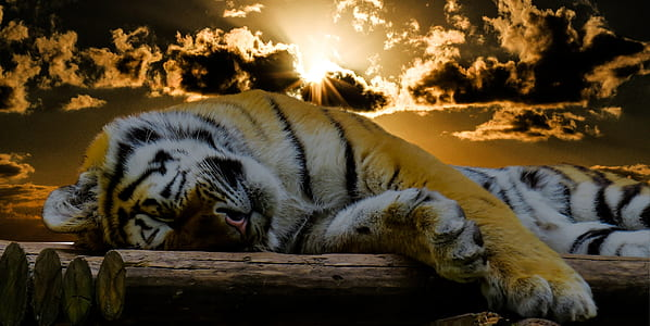 tiger laying on wood logs during dawn