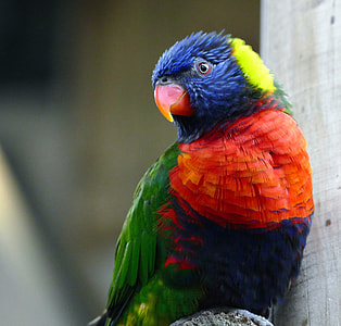 blue, red, and green parrot