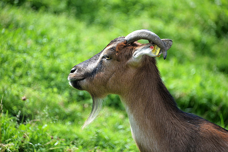 brown and black goat on green grass field during daytime