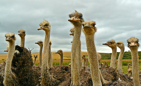 flock of ostriches looking in a single direction