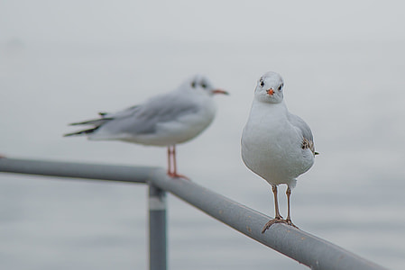 two Red-billed Gulls