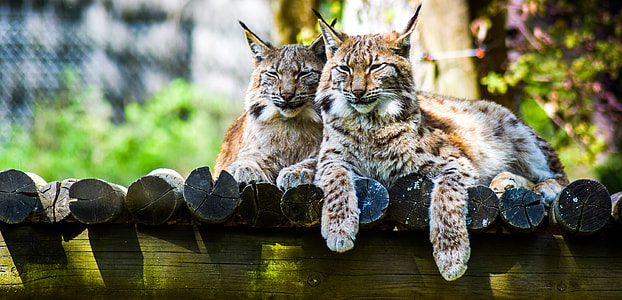 wildlife photography of two brown-and-black bobcats beside each other on brown logs