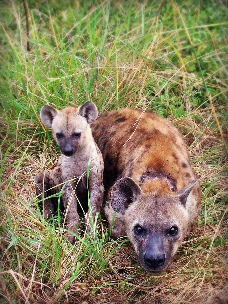 Hyena and cub on grass