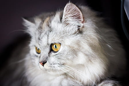 focal focus photography of white grumpy cat
