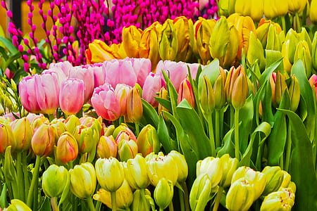 assorted-color tulip flowers
