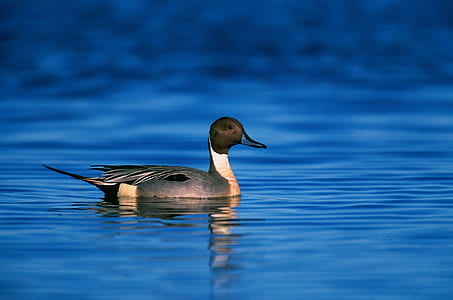 gray mallard duck on body of water