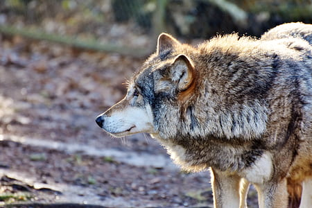 brown wolf photograph