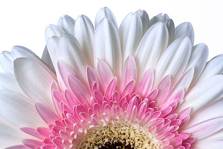 close-up photo of white and pink Gerbera daisy in bloom