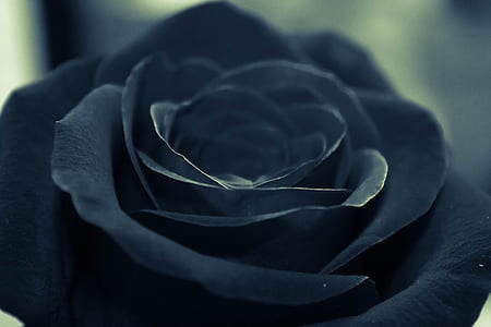 selective focus photography of black rose flower