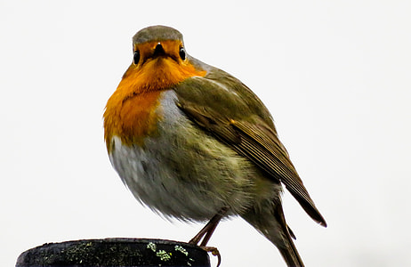 photography of European robin bird