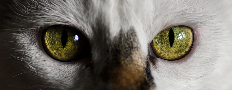 close photo of green eye cat