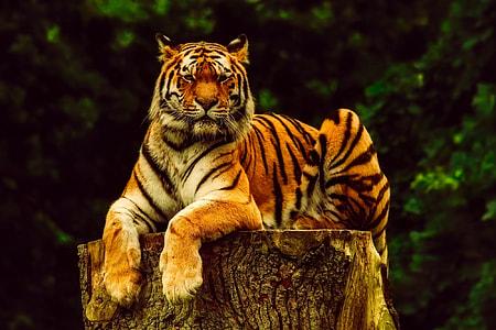 tiger lying on wood log