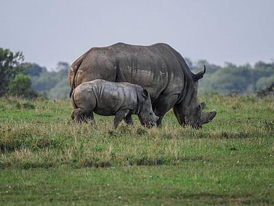 two gray rhinoceroses on grass field