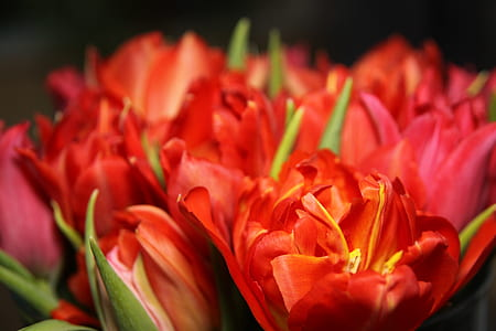 closeup phography red tulips