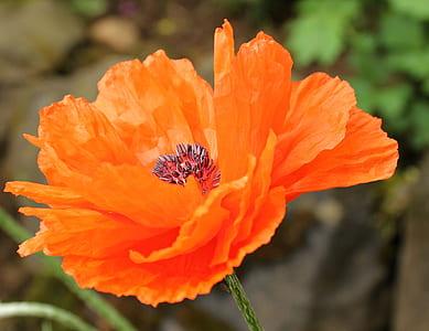 orange poppy in bloom close up photo