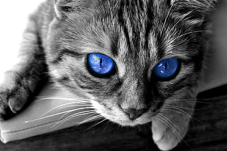 gray tabby cat with blue eyes