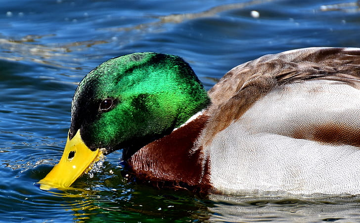 male mallard duck floating on body of water