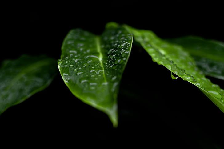 Dew in Green Leaves