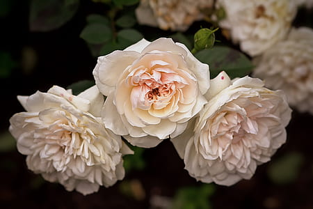 close-up photography of white petaled flowers in bloom