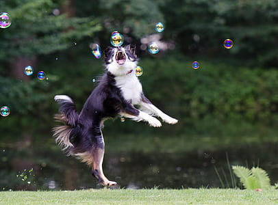 adult black and white border collie playing with bubbles during daytime