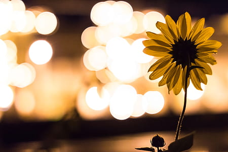 sunflower with bokeh background