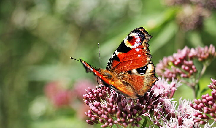 peacock butterfly on pink flower