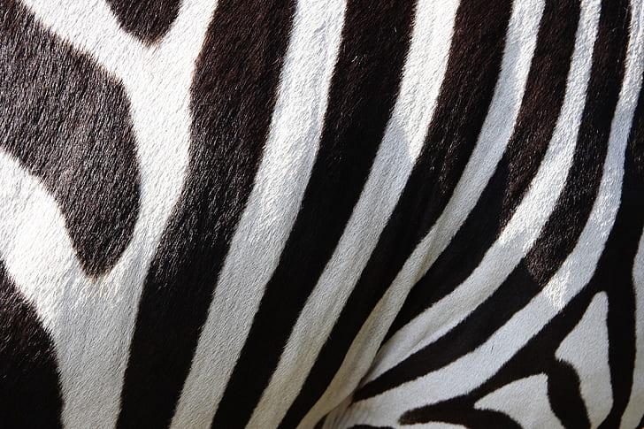close view zebra stripes