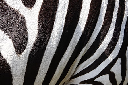 close view zebra stripes