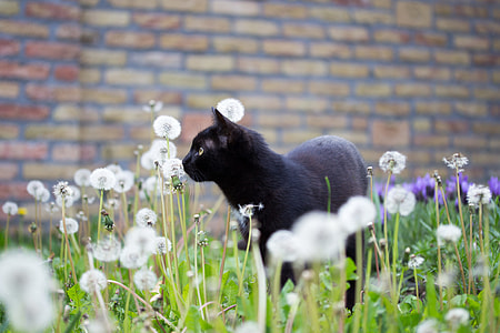 black cat in bed of dandelions photograph